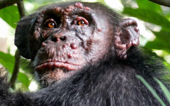 Ootamatu: pidalitõbi räsib Aafrika šimpanse